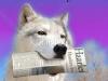 ist2_7286218-happy-wolf